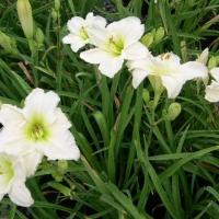 Sásliliom fehér (Hemerocallis sp. 'Gentle Shepherd')