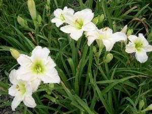 Sásliliom fehér (<span>Hemerocallis sp.</span> 'Gentle Shepherd')