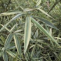 Csíkos levelű japán bambusz (Hibanobambusa tranquillans  'Shirosima')