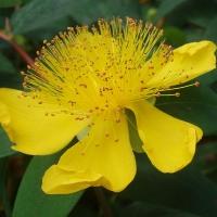 Örökzöld orbáncfű (Hypericum calycinum)