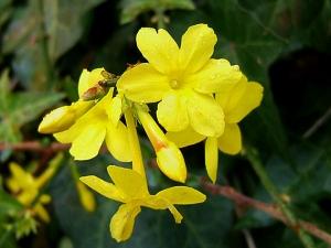 Téli jázmin (<span>Jasminum nudiflorum</span>)