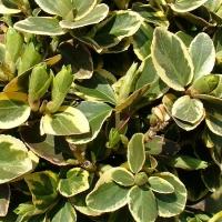 Aranytarka nagylevelű kúszó kecskerágó (Euonymus fortunei 'Canadale Gold')