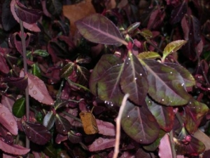 Télre liluló kúszó kecskerágó (<span>Euonymus fortunei</span> 'Coloratus')