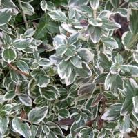 Fehértarka kúszó kecskerágó (Euonymus fortunei 'Emerald Gaiety')