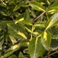 Arany kúszó kecskerágó (Euonymus fortunei 'Sunspot')