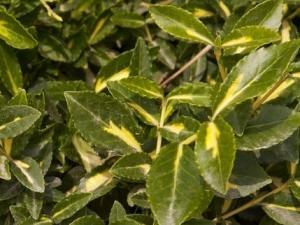 Arany kúszó kecskerágó (<span>Euonymus fortunei</span> 'Sunspot')