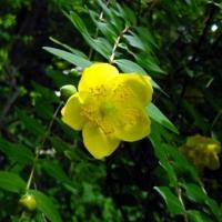 Japán orbáncfű (Hypericum patulum)