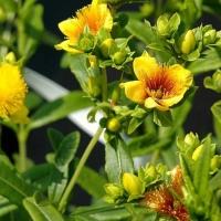 Keskenylevelű orbáncfű (Hypericum kalmianum)