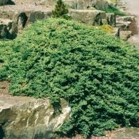 Japán törpeboróka (Juniperus procumbens 'Nana')