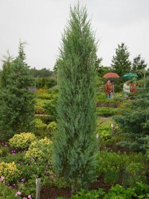 Sziklás-hegységi boróka (<span>Juniperus scopulorum</span> 'Blue Arrow')