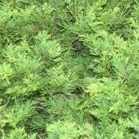 Aranylombú terülő boróka (Juniperus x media 'Gold Coast')
