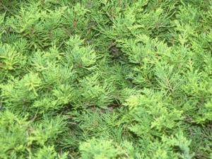 Aranylombú terülő boróka (<span>Juniperus x media</span> 'Gold Coast')