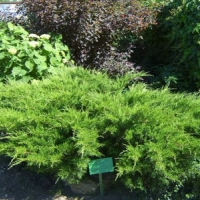 Zöld terülőboróka (Juniperus x media 'Mint Julep')