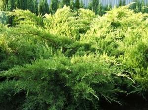 Sárga terülőboróka (<span>Juniperus x media</span> 'Pfitzeriana Aurea')