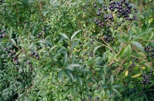 Közönséges fagyal (<span>Ligustrum vulgare</span>)