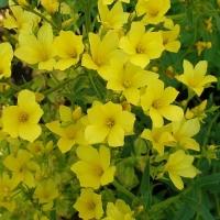 Sárga len (Linum flavum)