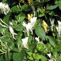 Örökzöld japán lonc (Lonicera japonica 'Halliana')