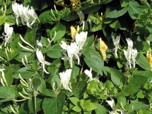 Örökzöld japán lonc (<span>Lonicera japonica</span> 'Halliana')