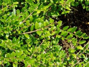 Örökzöld mirtuszlonc (<span>Lonicera nitida</span> 'Elegant')