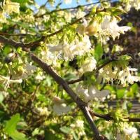 Korai lonc (Lonicera x purpusii)