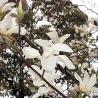 Japám liliomfa (Magnolia kobus)
