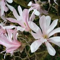 Liliomfa (Magnolia loebneri 'Leonard Messel')