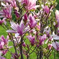 Liliomfa (Magnolia sp. 'Susan')