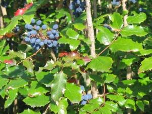 Kerti mahónia (<span>Mahonia aquifolium</span>)
