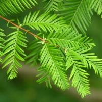 Szecsuáni mamutfenyő (Metasequoia glyptostroboides)