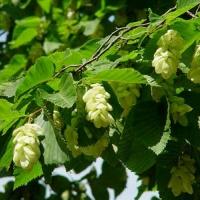 Komlógyertyán (Ostrya carpinifolia)