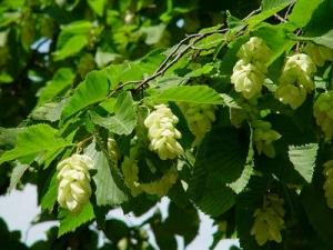 Komlógyertyán (<span>Ostrya carpinifolia</span>)