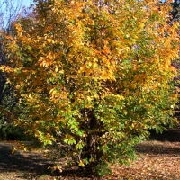 Perzsa varázsfa (Parrotia persica)