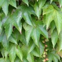 Japán vadszőlő (Parthenocissus tricuspidata 'Veitchii')