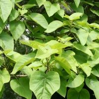 Nagylevelű császárfa (Paulownia tomentosa)