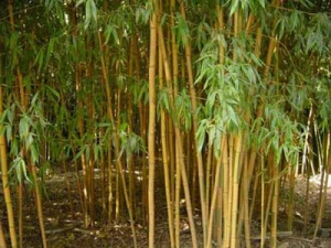 Bambusz (<span>Phyllostachys bambusoides</span> 'Castillonis')