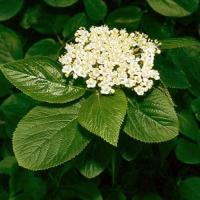 Ostorménbangita (Viburnum lantana)