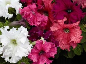Nagyvirágú petúnia (<span>Petunia grandiflora </span>)