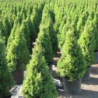 Cukorsüveg fenyő (Picea glauca 'Conica')