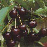 Érdi jubileum (<span>Prunus cerasus</span> ''Érdi jubileum'')