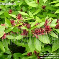 Illatos fűszercserje (Calycanthus floridus)