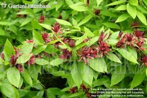 Illatos fűszercserje (<span>Calycanthus floridus</span>)