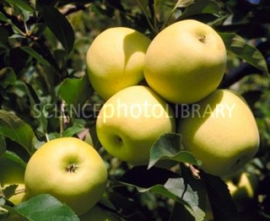 'Golden Delicious Li 85-50' alma (<span>Malus domestica</span> ''Golden Delicious Li 85-50'')