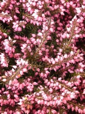 Alpesi erika (<span>Erica carnea</span>)