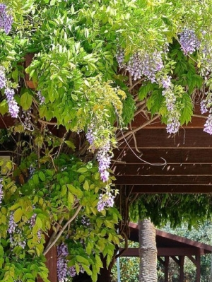 Kínai lilaakác (<span>Wisteria sinensis</span>)