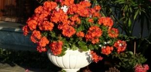 Évelő növények teleltetése: mi legyen a muskátlival?