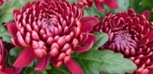 Krizantém: temetővirág vagy rangos ajándék?
