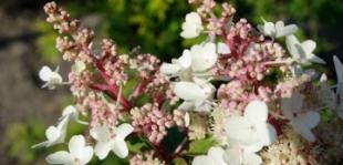Itt a bugás hortenzia legszebb fajtája
