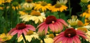 Hány színe lehet egy kasvirágnak?