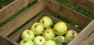 41. hét: Téli alma - a mindennapi egészség forrása
